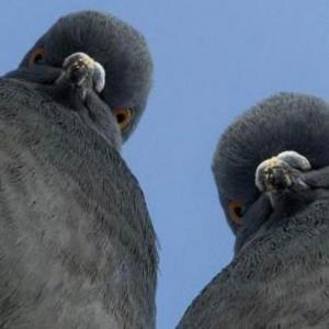 Россиянину дали пять месяцев за убийство голубя