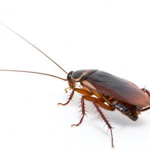Ученые раскрыли причину живучести тараканов
