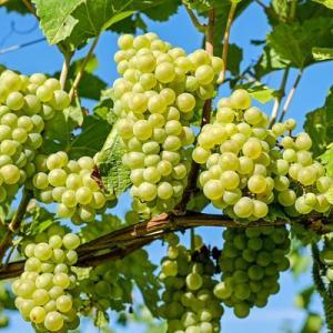 Можно ли есть виноград вместе с косточками?