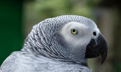 Домашний попугай проболтался об измене мужа