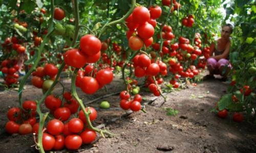 Вот чем нужно посыпать помидоры, чтобы получить богатый урожай