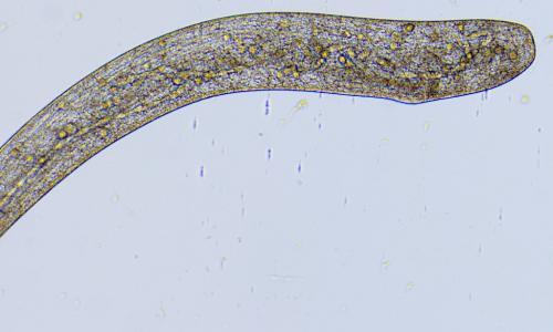 Ученые в шоке: червь двигается со скоростью более 700 км/ч