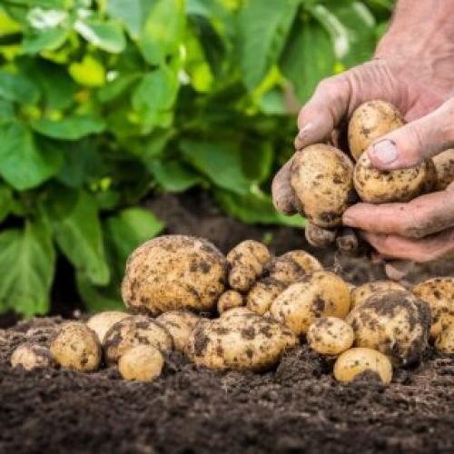 Когда сажают картошку в этом году