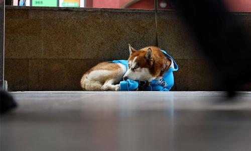 Российский Хатико: хаски в свитере каждый день ждет хозяйку у ее работы. Фото