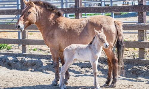 Почти исчезли: в России родился жеребенок лошади Пржевальского
