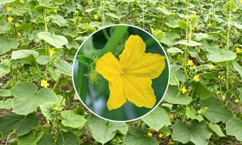 Как спасти огурцы с желтеющими листьями: действенные народные способы